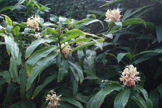 Hedychium flavescens en pleine floraison for Plante 5zema