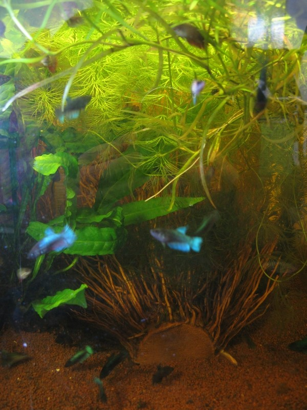 M thode semi naturelle betta bijou for Racine aquarium