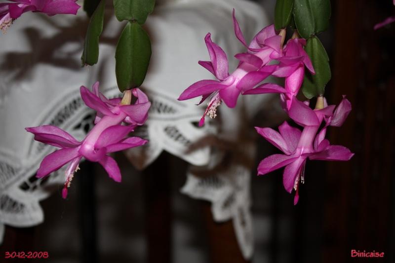 Mon cactus de Noël. dans Fleurs et plantes cactus10