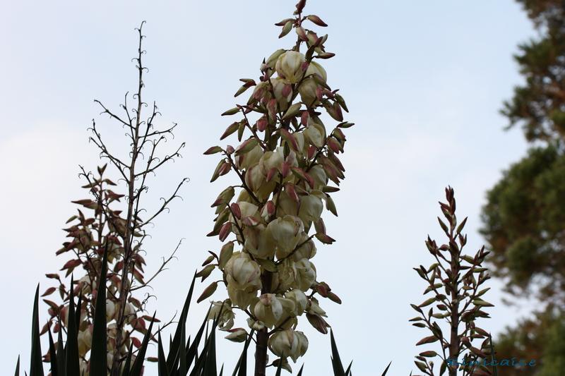 Droit vers le ciel .... dans Fleurs et plantes droit_10