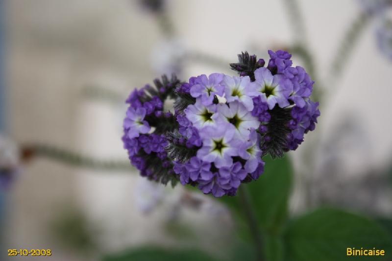 Héliotrope. dans Fleurs et plantes img_0511
