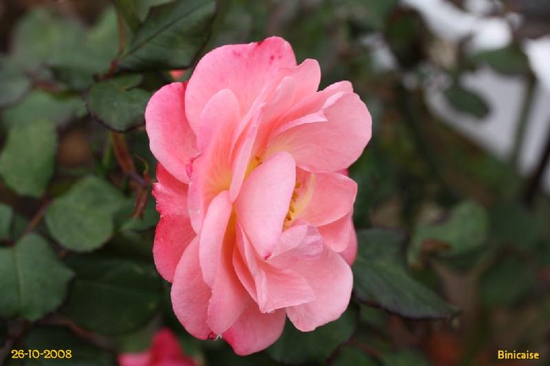 Roses en automne. dans Fleurs et plantes img_0613