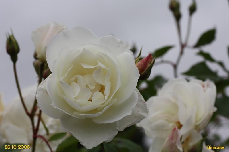 Roses en automne 2. dans Fleurs et plantes img_0615