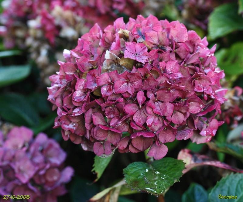 Hortensias aux couleurs de l'automne. dans Fleurs et plantes img_0618