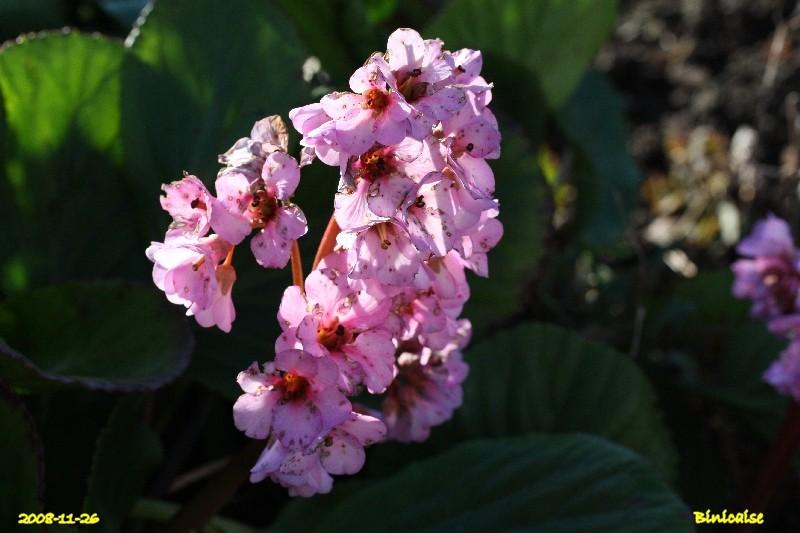 Bergenias. dans Fleurs et plantes img_1110