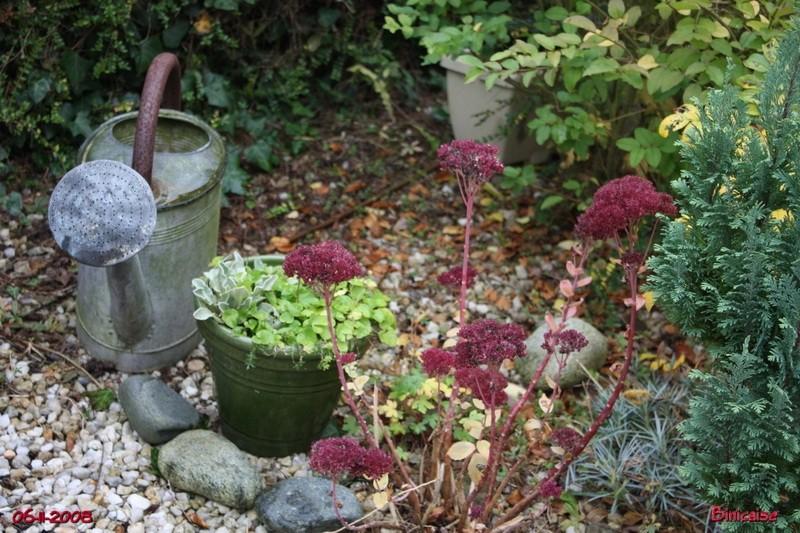 Jardin de Novembre. Dernier éclat des sédums. dans Fleurs et plantes jardin14
