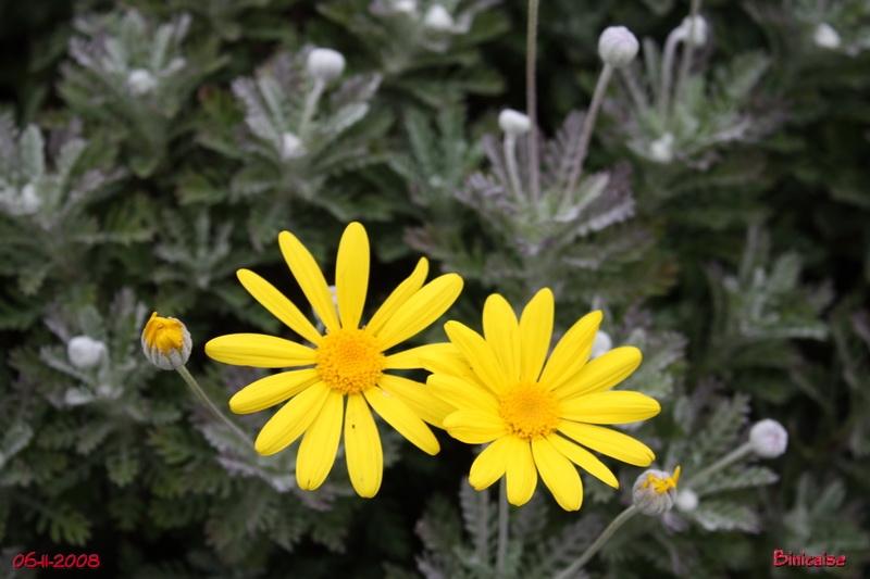 Jardin de Novembre, les fleurs permanentes. dans Jardin binicaise jardin17