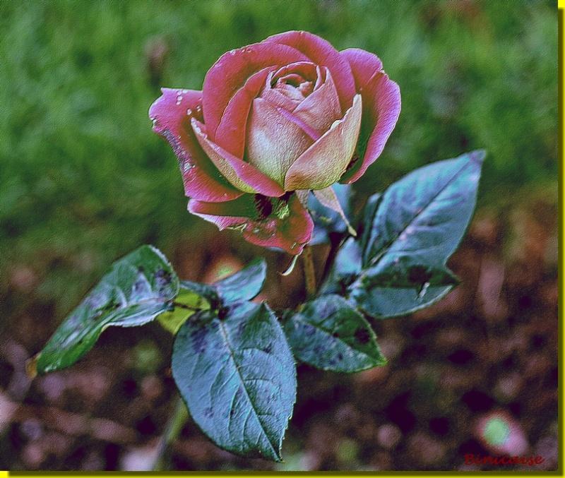Rosemania 2 dans Creations la_ros10