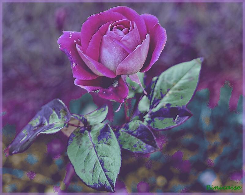 Rosemania 3 dans Creations la_ros11
