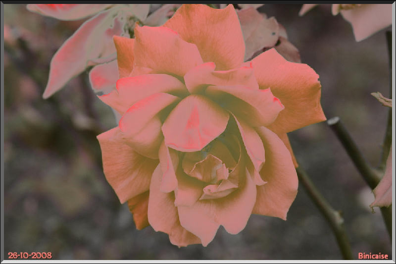 rose_r10 dans Creations