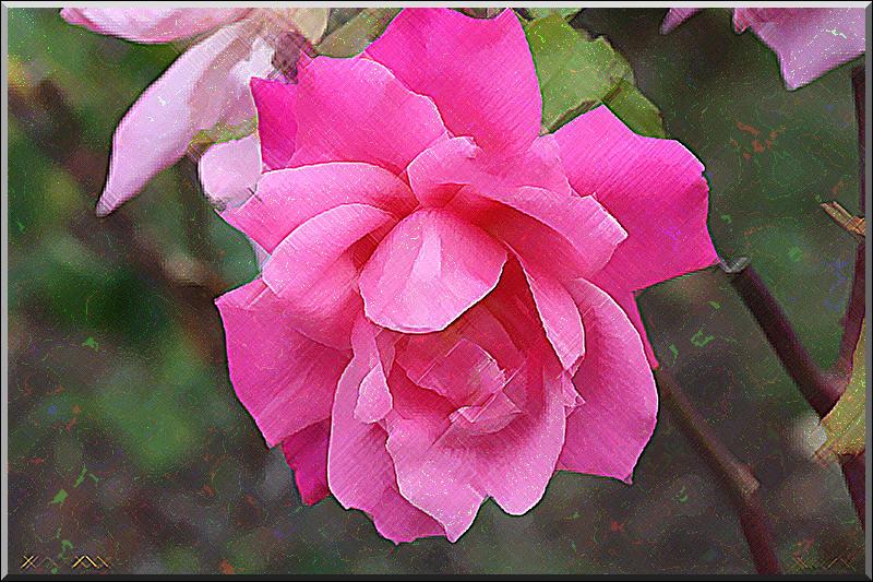 rose_r11