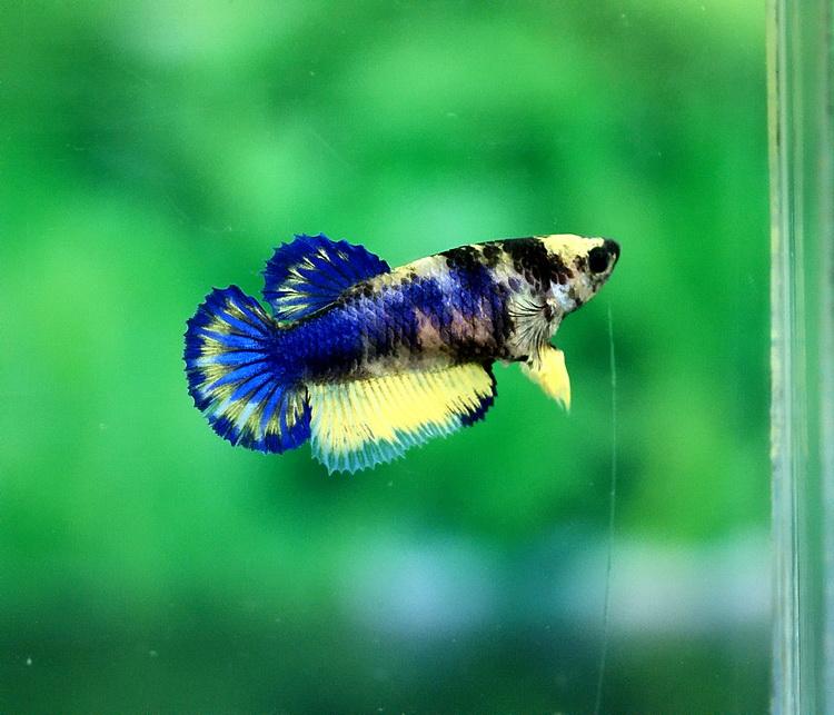 Fancy female betta fishes pinterest for Girl betta fish