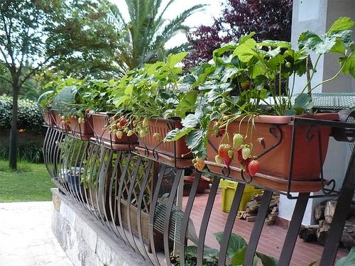 Come coltivare fragole in giardino o sul balcone di casa for Balcone giardino