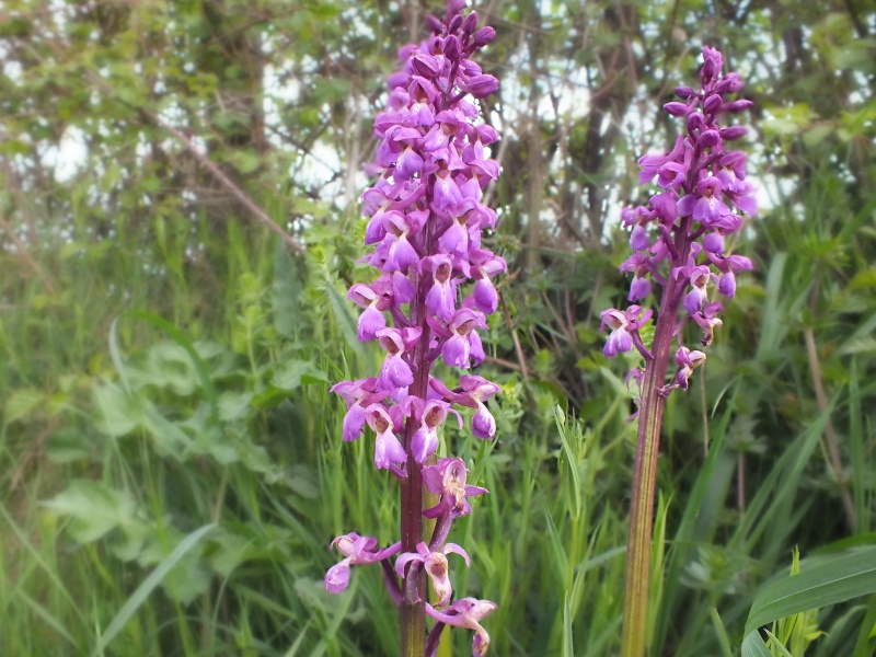 orchidee sauvage sarthe