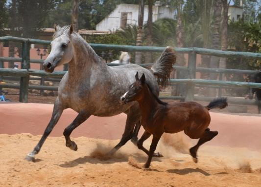 cheval arabe barbe vendre maroc